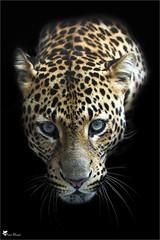 Panthère de Java (Pascal Photo Passion) Tags: felin animal gros plan fond noir tête regard