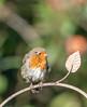 Robin on the garden gate (mack100) Tags: robin