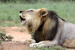SOUTH AFRICA 2018 (Ian Macfadyen) Tags: safari southafrica wildlife photography bush wildanimals biggame bushveld kruger reserve nationalpark travel journey africancontinent canon longlenses telephoto adventure adrenalinrush gamedrive bushwalk armedrangers prideoflions lion lioness lionroaring roaring