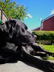 Hugo chilling in the sun! (Claire Louise Beyga) Tags: labrador lab dogshugoblacklabbkackgardensun sun outdoors bestfriend bestfriends sunshine laze lounge cameraphone mobilephonepics