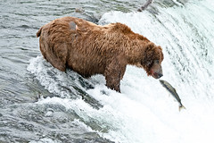 Just one kiss.... (Patty Bauchman) Tags: alaska alaskabrownbear brooksfalls grizzlybear katmai katmainationalparkandpreserve northamericanbrownbear ursusarctosssp grizzlyboar salmon