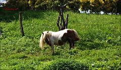 Con la melena al viento (bruixazul poc a poc...) Tags: pony equino pradera arboles cantabria smileonsaturday uniflona unionoffloraandfauna