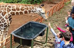 a1 IMG_9326 (hbp_pix) Tags: hbppix harry powers giraffe rothschilds kenya