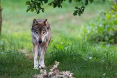 Man's Best Friend (The Wasp Factory) Tags: eurasianwolf commonwolf commongreywolf wolf eurasischerwolf europäischerwolf canislupuslupus tierparksababurg tierpark sababurg wildlifepark wildpark
