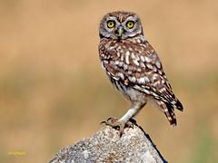 Athene noctua (Mochuelo europeo) (31) (eb3alfmiguel) Tags: aves pájaros rapaces nocturnas strigiformes strigidae mochuelo europeo athene noctua