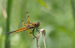 Four spotted chaser (yvonnepay615) Tags: panasonic lumix gh4 nature insect chaser rspb lakenheathfen suffolk eastanglia uk coth coth5