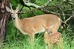 Hanging with Dad (dina j) Tags: floridawildlife florida wildlife nature outdoors trees deer babydeer fawn stag buck whitetaildeer pinellascounty tampabay
