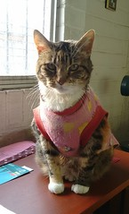 Xica (angeliquita) Tags: gatos cats pets mascotas kitten capita tabby atigrado xica motorolaxt1068
