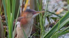 Petit Blongios (1) (boisvertvert1) Tags: petitblongios leastbittern marais michelboisvert 2018 oiseauxduquébec canon canada québec birds canoneos70d canon70d ef300mmf4lisusm