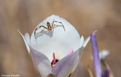 Waiting for his next meal (Photosuze) Tags: spiders arachnids animals nature wildlife flowers flora lilies thomisidae catalinamariposalily