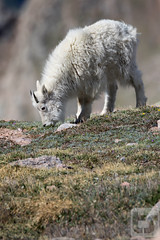Explorations of Youth (Theodore A. Stark) Tags: ifttt 500px 7d mark ii 2016 animals canon clear creek county co colorado gps idaho springs june mount evans nature outdoors rocky mountain goat stark summer ted theodore a tstarkcom usa wildlife 7dmarkii clearcreekcounty idahosprings mountevans rockymountaingoat tedstark theodoreastark wind evergreen unitedstates