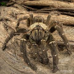 Baboon tarantula (cf. Pterinochilus murinus) - DSC_3068 (nickybay) Tags: bugshot mozambique gorongosa macro africa baboon tarantula spider theraphosidae pterinochilus murinus cctv wideangle