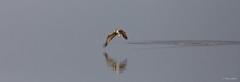 Visarend - Osprey - Pandion haliaetus -2417 (Theo Locher) Tags: osprey visarend fischadler balbuzardpecheur pandionhaliaetus birds oiseaux vogels vögel duitsland germany copyrighttheolocher