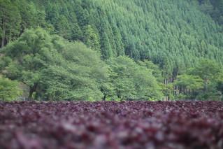 Sea of Red Perillas / 抹茶&小豆色 ‐Kyoto Ohara Shiso Field