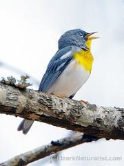 Northern Parula (An Ozark Naturalist) Tags: setophaga americana northernparula warbler warblers woodwarbler woodwarblers birds bird