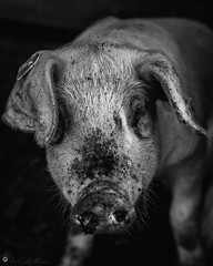 "Portrait of a piglet • <a style=""font-size:0.8em;"" href=""http://www.flickr.com/photos/126602711@N06/42978464621/"" target=""_blank"">View on Flickr</a>"