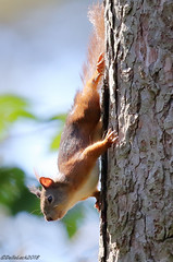 Red Squirrel (Georgiegirl2015) Tags: redsquirrel squirrel wildlife wales woodlands bbcwalesnature animal angelsey canon countryside dellalack wildlifephotography june2018 nuts rodent ef300mm mammal