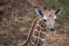 _MGL2188.jpg (shutterbugdancer) Tags: giraffe reticulatedgiraffe africansavanna fortworthzoo fortworth