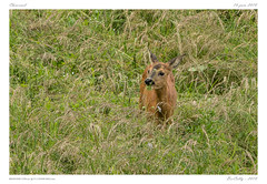 Le chevreuil (BerColly) Tags: france auvergne puydedome mammifere mammal chevreuil roe prairie meadow cachecache hideandseek été summer bercolly google flickr