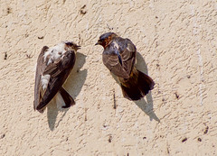 Leucistic Cliff Swallow and Friend (Kremlken) Tags: swallows leukism pymatuningstatepark pennsylvania birds birding nikon500
