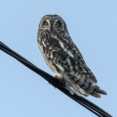 Jordugle - Asio flammeus - Short-eared Owl - VJ2_7473 (Viggo Johansen) Tags: jordugle asioflammeus shortearedowl birds wildlife