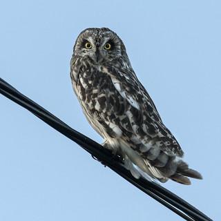 Jordugle - Asio flammeus - Short-eared Owl - VJ2_7473
