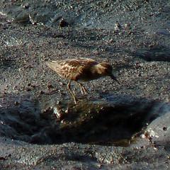 Least Sandpiper (Dendroica cerulea) Tags: leastsandpiper calidrisminutilla calidris scolopacidae scolopaci charadriiformes aves bird shorebird sandpiper mud river summer raritanriver donaldsonpark highlandpark middlesexcounty nj newjersey