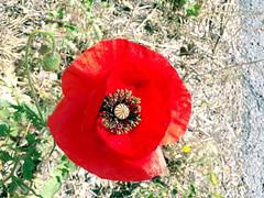 102_0519 (Cassiopée2010) Tags: coquelicot cévennes nature