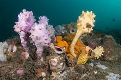 Ascidian diversity #marineexplorer (Marine Explorer) Tags: scuba nature marine underwater australia marineexplorer rx100 compact sony