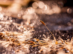 ..when life becomes too much.. (dawn.tranter) Tags: dawntranter bokeh ice winter dandelion seeds sparkles bubbles backlight sunshine sunlight canon