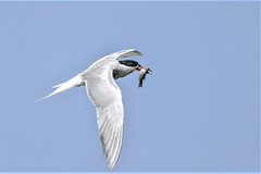 Common tern with fish (Paul Wrights Reserved) Tags: commontern tern fish fishing bird birding birds birdphotography birdwatching birdinflight birdofprey birdofpreyinflight flying fly flight