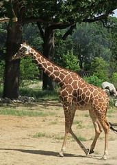 giraffe in the sun (BarryFackler) Tags: zoo giraffidae henrydoorlyzooandaquarium giraffe giraffacamelopardalisreticulata reticulatedgiraffe mammal animal being creature fauna organism life wildlife zoology henrydoorlyzoo gcamelopardalisreticulata omahazoo