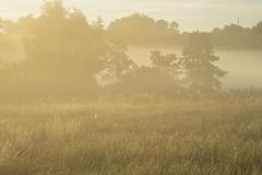 Rinder zählen im Frühnebel - es ist wieder einmal kein Tier zu sehen; Bergenhusen, Stapelholm (16) (Chironius) Tags: stapelholm bergenhusen schleswigholstein deutschland germany allemagne alemania germania германия niemcy nebel fog brouillard niebla утро morgen morning dawn matin aube mattina alba ochtend dageraad рассвет amanecer morgens dämmerung landschaft landwirtschaft tier rind gegenlicht commeliniden süsgrasartige poales süsgräser poaceae gras gräser herbe graminées grass grasses erba трава травы pooideae baum tree