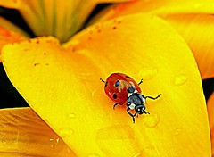 ladybug (majka44) Tags: insect ladybug nature yellow drop water red fauna flora droplet rain nice colors light macroworld mygarden