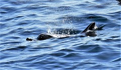 There she blows! (pstone646) Tags: dolphin nature mammal wildlife indianocean water waves fauna swimming sea animal