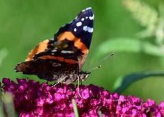 Butterfly Season (louise.woodstock) Tags: nikon ontario nikond5300 sigma100400 closeup butterfly nature wildlife flower pink buddleia butterflybush wings bokeh redadmiral redadmiralbutterfly