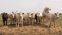 stretching your neck out of the crowd (EXPLORE) (Alex Verweij) Tags: cow cows pinken koe koeien abcoude klimmen uitslover nekuitsteken alexverweij fietsen partytime alex verweij polder chaos