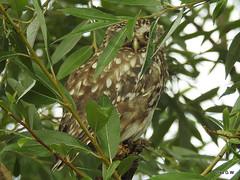 Little Owl in hiding (Diko G.W.) Tags: littleowl eastyorkshire nikonp900 owl