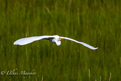 Egret (mayekarulhas) Tags: oceancity newjersey unitedstates us egret