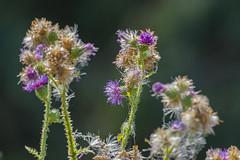 Rieselfelder 04082018 008 (Dirk Buse) Tags: münster deutschland germany nrw rieselfelder de deu nordrheinwestfalen color pflanze flora mft mu43 m43 natur outdoor nature