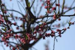Blossoms (JSmith007) Tags: tree branch nature plant season springtime flower leaf closeup outdoors japan blossom beautyinnature twig flowerhead backgrounds petal freshness pinkcolor macro