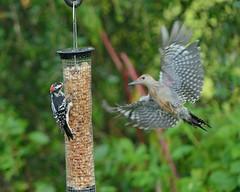 AFC_0971_01 (thorntm) Tags: bird peanutfeeder redbelliedwoodpecker downeywoodpecker woodpeckers t18080301 mdtpix nikond800 photosandcalendar