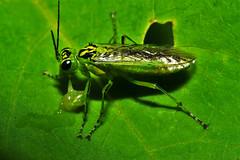 Rhogogaster viridis, la tenthrède verte. (chug14) Tags: macro insecte unlimitedphotos animalia arthropoda hexapoda insecta hymenoptera symphyta tenthredinidae tenthredininae tenthrèdeverte rhogogasterviridis