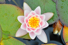 Water lily - aerial view (katy1279) Tags: waterlily lilypad aerialview