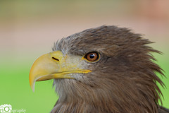 White-Tailed Sea Eagle (Mike House Photography) Tags: bird prey falcon eagle hawk talons beak wings flying flight fly yellow green brown white eyes sharp meat eater tail tips conservation wildlife animal photography