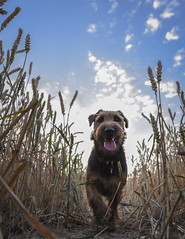 walking through the wheat! (Nathan J Hammonds) Tags: pov dog field wheat harvest welsh terrier welshie hound clouds nikon low summer