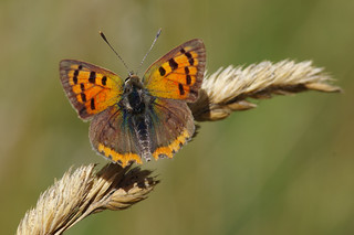 IMGP6761c Small Copper, Lackford Lakes, July 2018