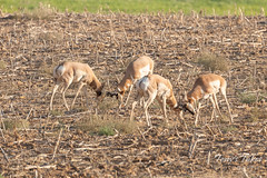 Two pairs of Pronghorn bucks battle