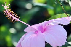 Hibiscus rose tout en douceur de Tahiti (Christian Chene Tahiti) Tags: canon 6d pirae hibiscus aute color couleur rose pink fleur fleurdepolynésie fleurdesîles fleurdetahiti flore floredepolynésie floredetahiti flores flower pistil pollen closer closeup vert macro nature polynésie polynésiefrançaise tahiti bokeh plante extérieur