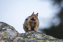 Getting screamed at by a squirrel (ArmanWerthPhotography) Tags: armanwerthphotography squirrel alarm call northcascadesnationalpark wildlife maplepassloop
